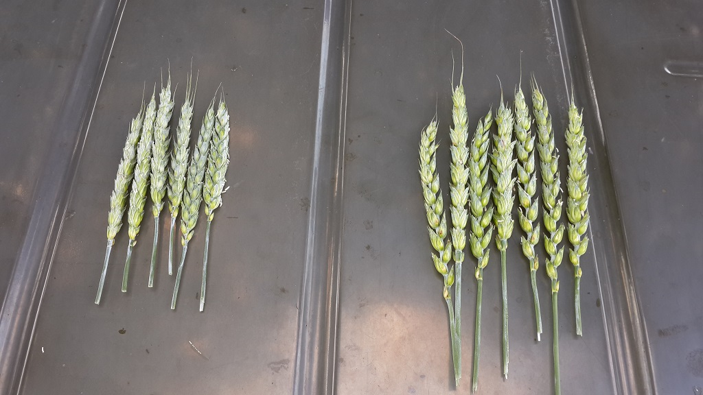 Wheat Treated with The Super Imploder Vortex Magnetic System Right, without Left